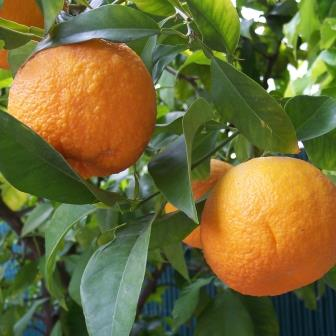 CT Ingenieros is leading a precision agricultural project for orange trees using drones